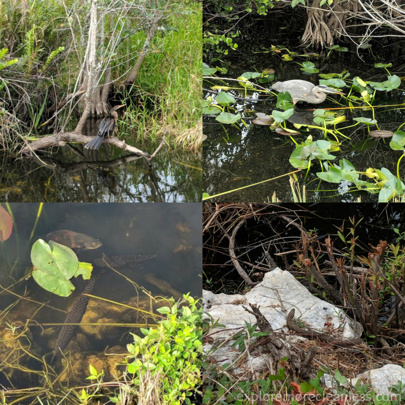 wildlife in the everglades national park
